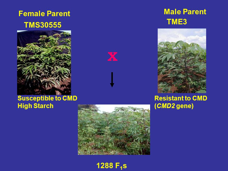 Susceptible to CMD High Starch TMS30555 Female Parent 1288 F 1 s Resistant to CMD (CMD2 gene) X Male Parent TME3