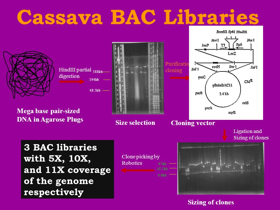 HindIII partial digestion Purification and cloning Ligation and Sizing of clones Cloning vector 388kb 194kb 48.5kb Size selection Sizing of clones 3 BAC libraries with 5X, 10X, and 11X coverage of the genome respectively Clone picking by Robotics Mega base pair-sized DNA in Agarose Plugs Cassava BAC Libraries 97kb 6.9kb 48.5kb