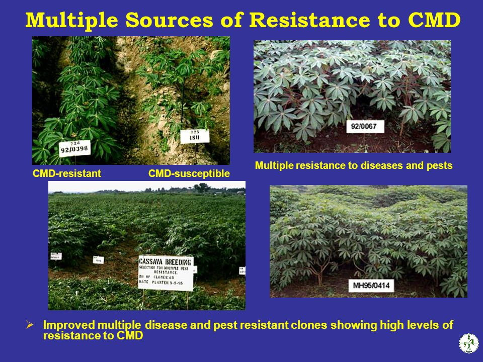 CMD-resistantCMD-susceptible Multiple resistance to diseases and pests Improved multiple disease and pest resistant clones showing high levels of resistance to CMD Multiple Sources of Resistance to CMD