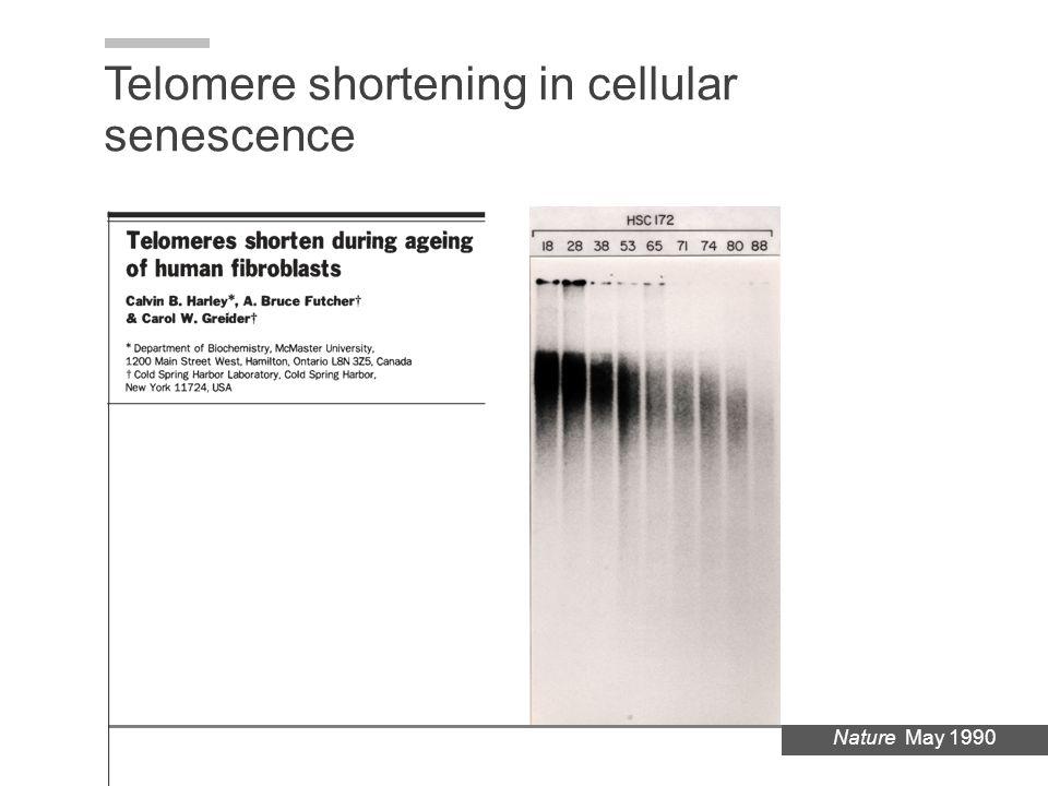 Nature May 1990 Telomere shortening in cellular senescence
