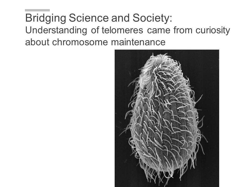 Bridging Science and Society: Understanding of telomeres came from curiosity about chromosome maintenance