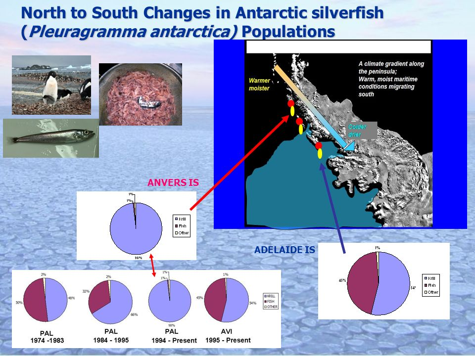 North to South Changes in Antarctic silverfish (Pleuragramma antarctica) Populations ANVERS IS ADELAIDE IS