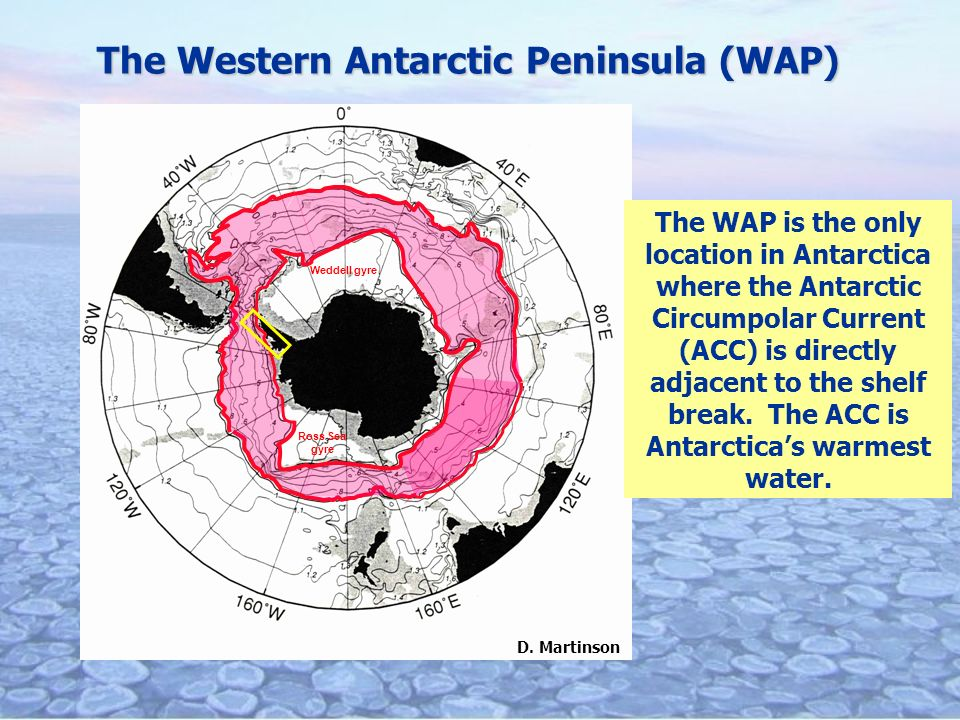 The Western Antarctic Peninsula (WAP) The WAP is the only location in Antarctica where the Antarctic Circumpolar Current (ACC) is directly adjacent to the shelf break.