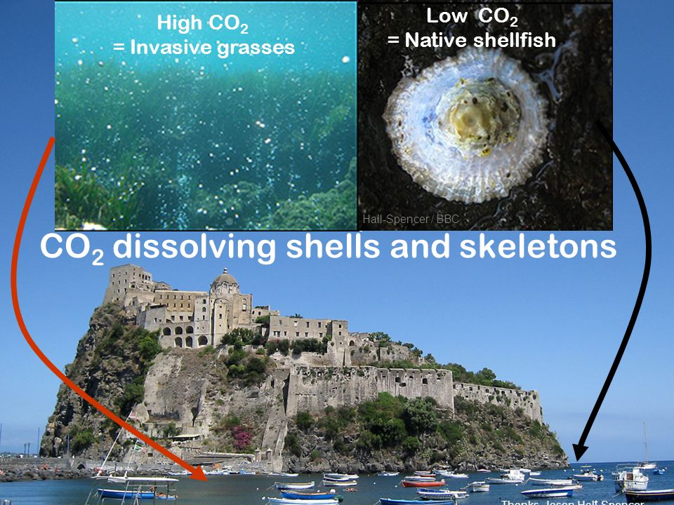 CO 2 dissolving shells and skeletons Hall-Spencer / BBC High CO 2 = Invasive grasses Low CO 2 = Native shellfish Thanks, Jason Hall-Spencer
