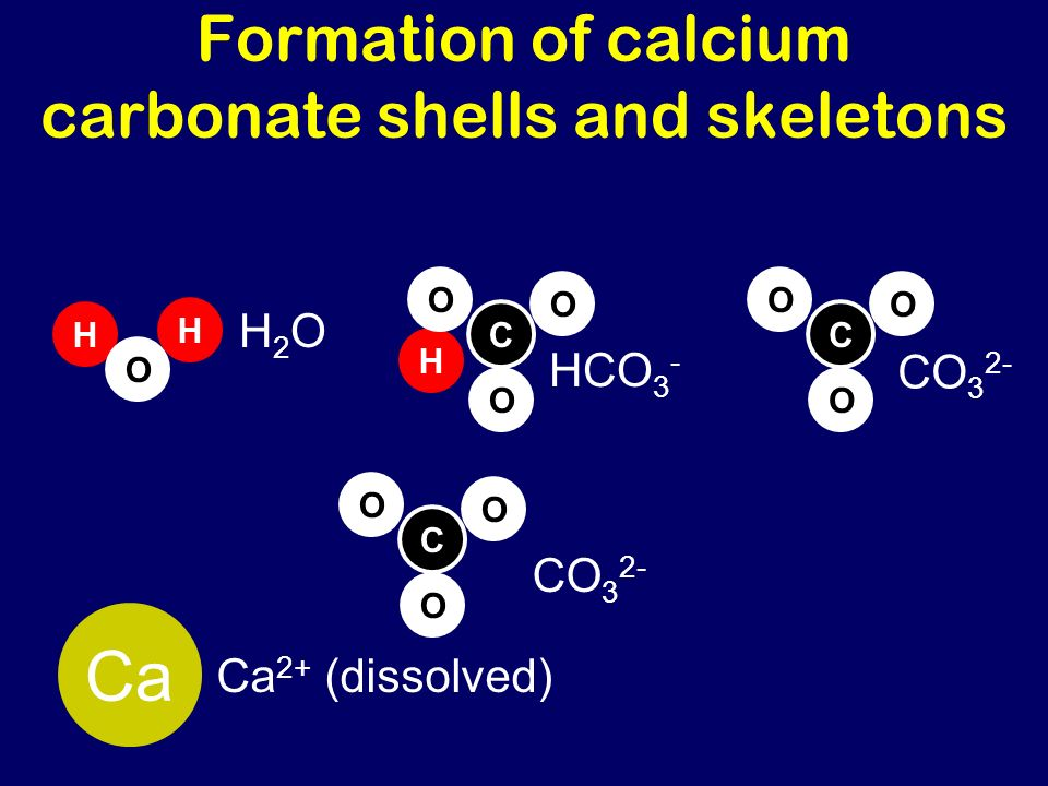 Formation of calcium carbonate shells and skeletons CO 3 2- C O O O Ca Ca 2+ (dissolved) H H O H2OH2O H C O O O HCO 3 - C O O O CO 3 2-