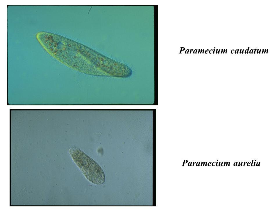 Paramecium caudatum Paramecium aurelia