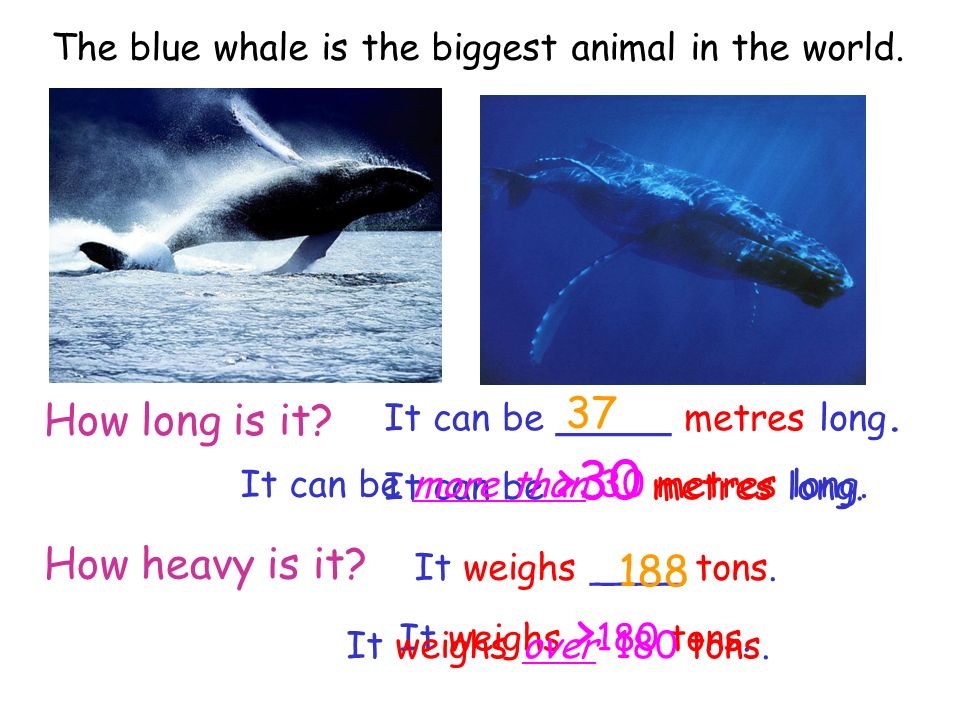 How long is it? How heavy is it? It can be _____ metres long. It weighs ____ tons. 37 188 It can be >30 metres long. It can be more than 30 metres lon
