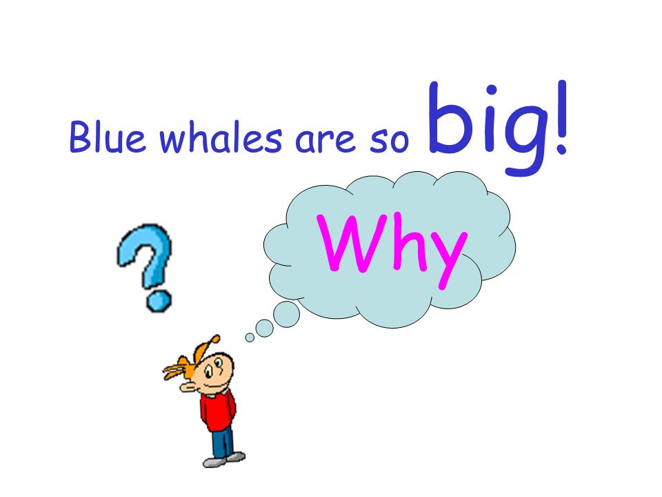 Blue whales are so big! Why