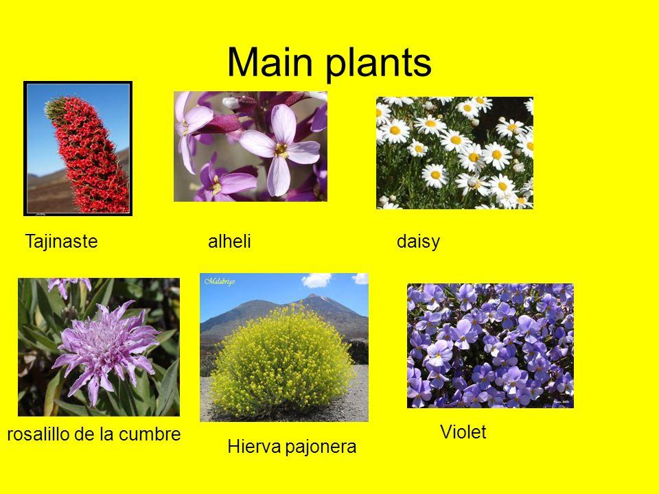 Main plants Tajinaste alheli daisy Hierva pajonera Violet rosalillo de la cumbre