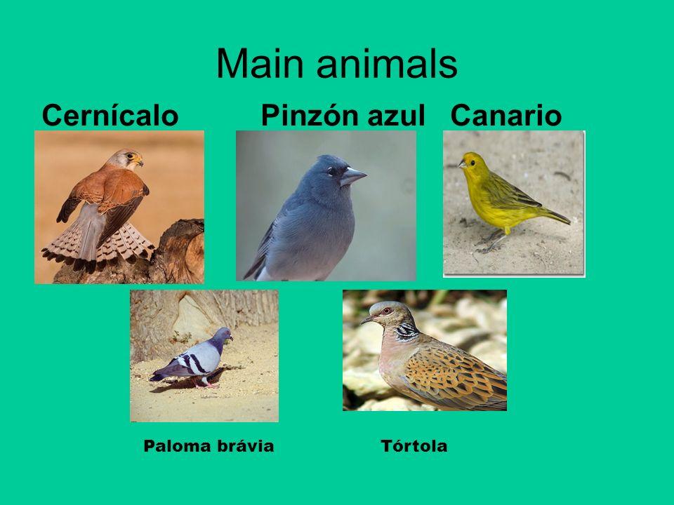 Main animals Cernícalo Pinzón azul Canario Paloma brávia Tórtola