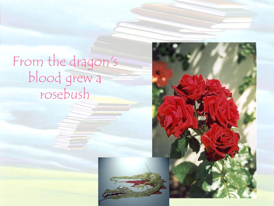 From the dragon s blood grew a rosebush