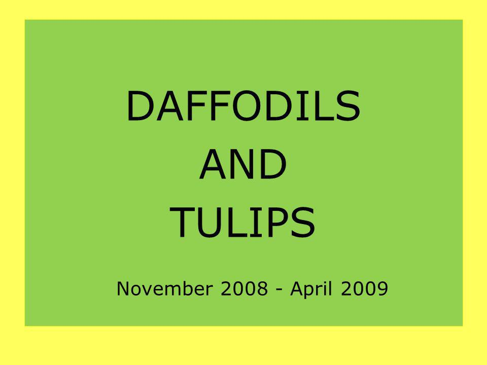 DAFFODILS AND TULIPS November 2008 - April 2009