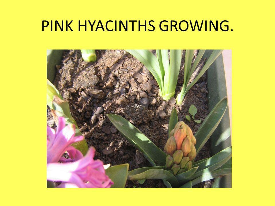 PINK HYACINTHS GROWING.