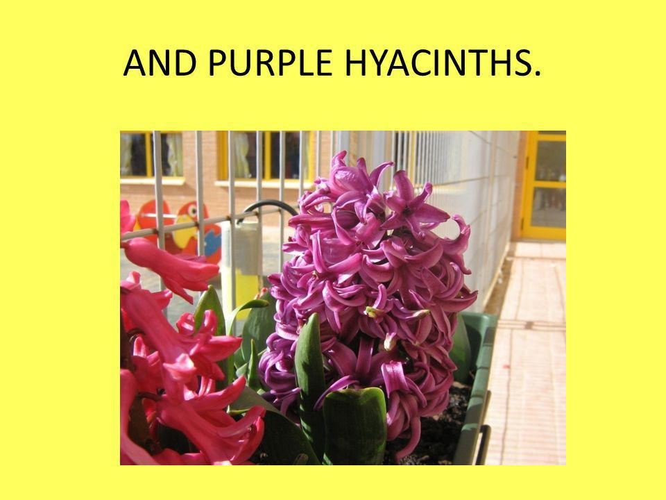 AND PURPLE HYACINTHS.
