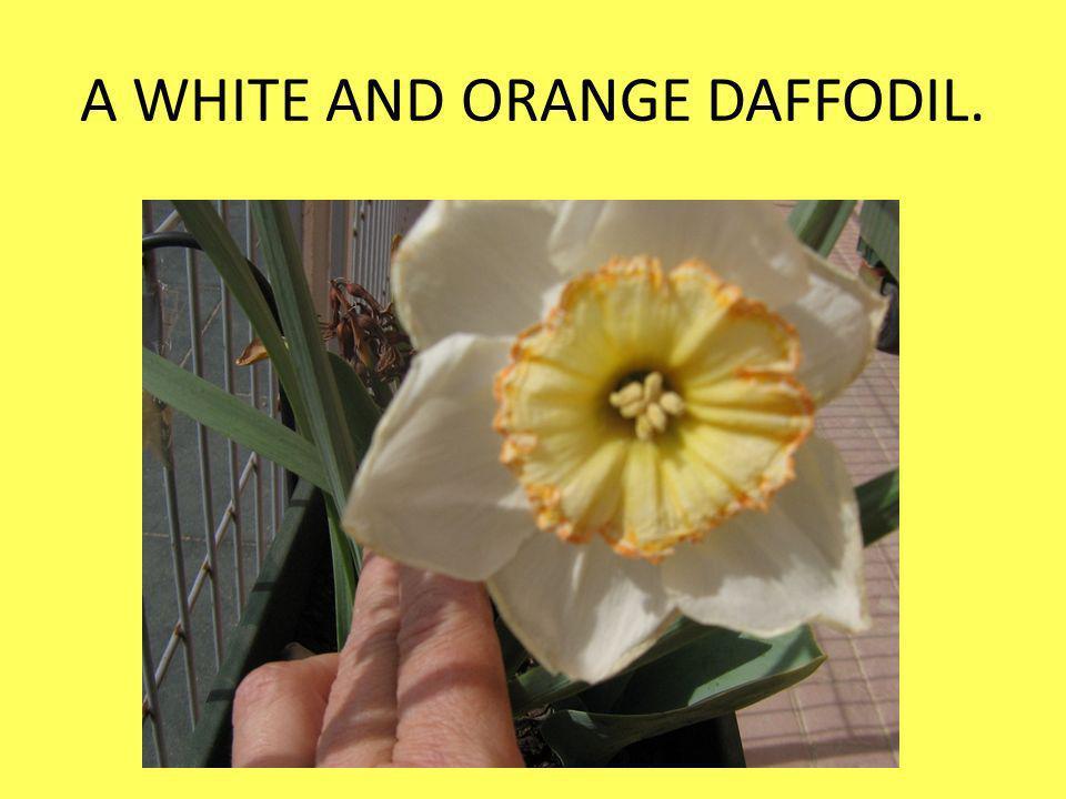 A WHITE AND ORANGE DAFFODIL.