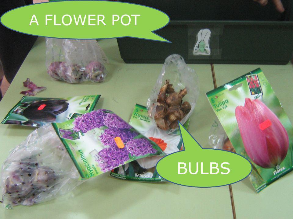 BULBS A FLOWER POT