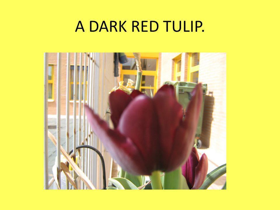 A DARK RED TULIP.
