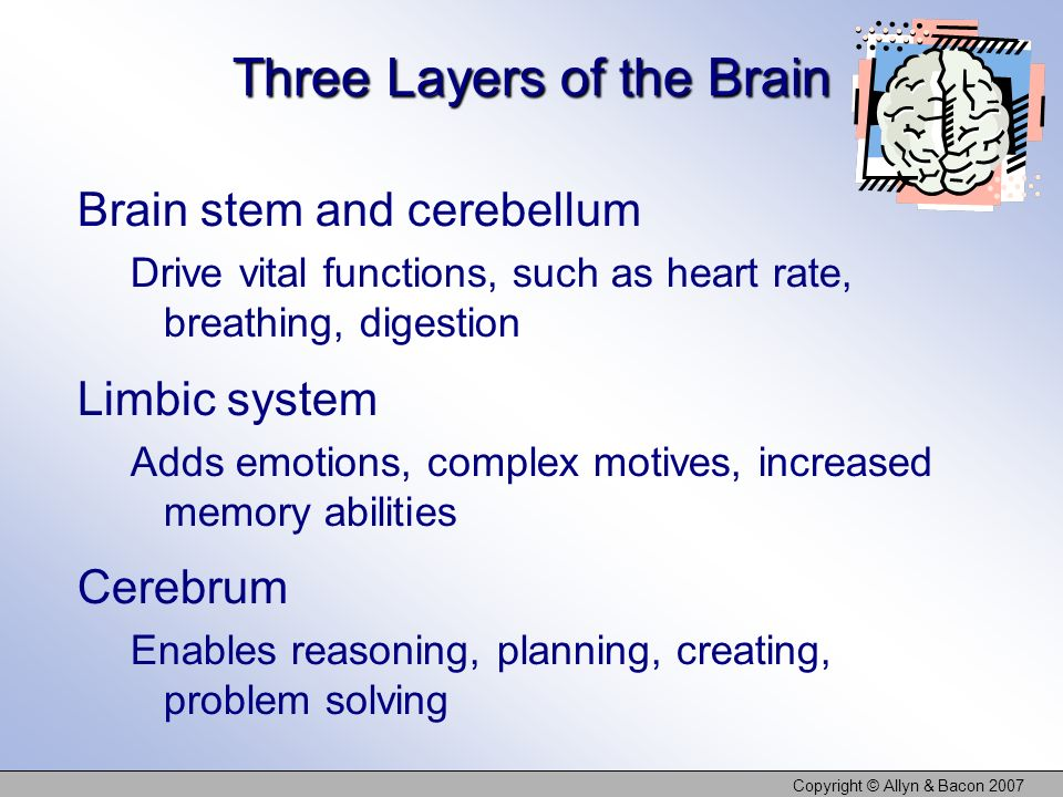 Copyright © Allyn & Bacon 2007 Three Layers of the Brain Brain stem and cerebellum Drive vital functions, such as heart rate, breathing, digestion Lim