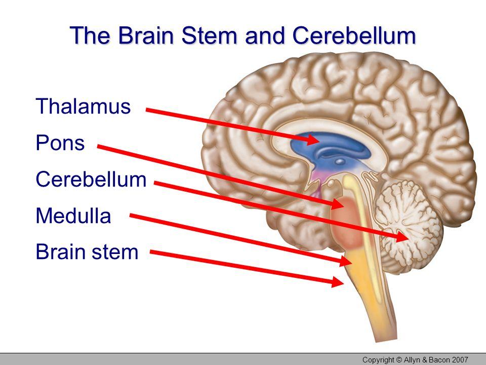 Copyright © Allyn & Bacon 2007 The Brain Stem and Cerebellum Thalamus Pons Cerebellum Medulla Brain stem