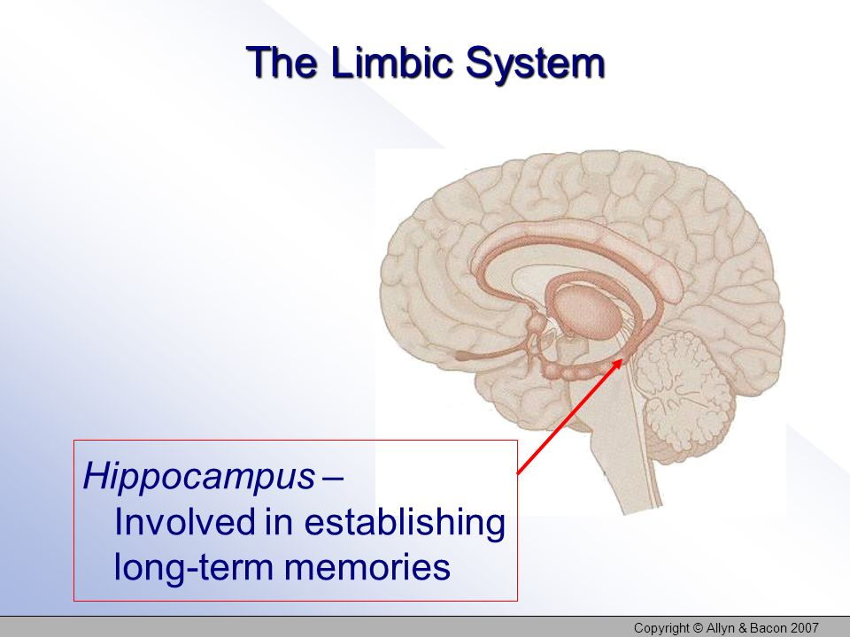 Copyright © Allyn & Bacon 2007 The Limbic System Hippocampus – Involved in establishing long-term memories