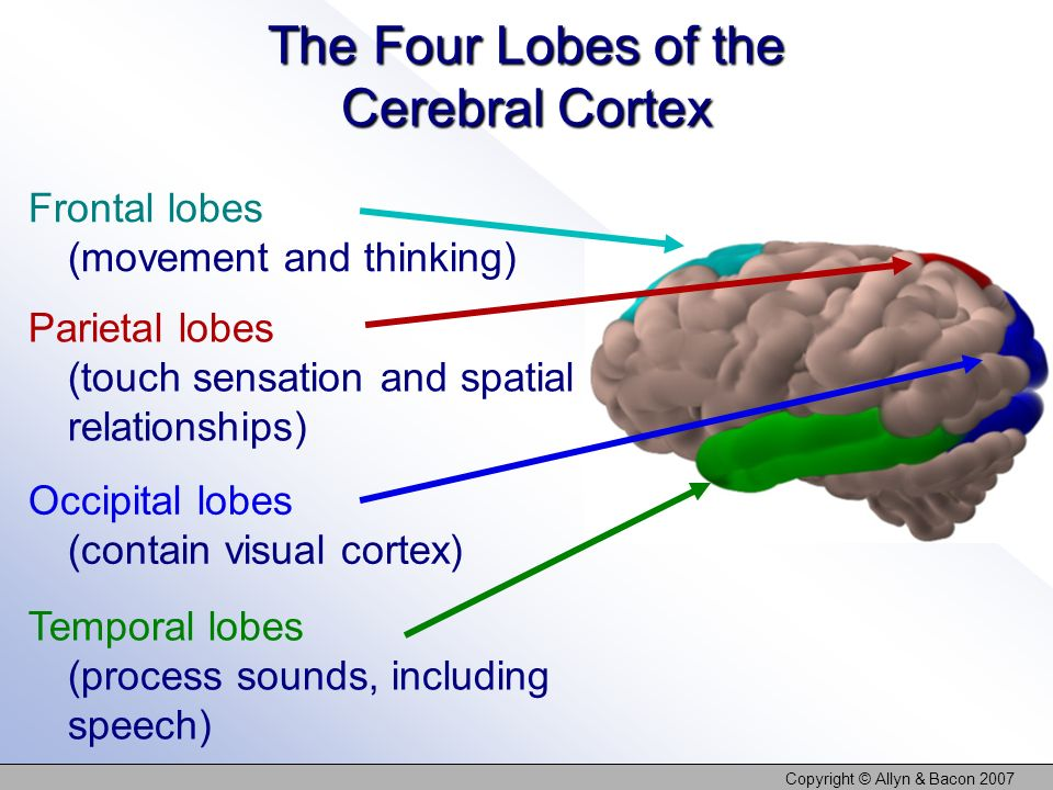 Copyright © Allyn & Bacon 2007 The Four Lobes of the Cerebral Cortex Frontal lobes (movement and thinking) Parietal lobes (touch sensation and spatial