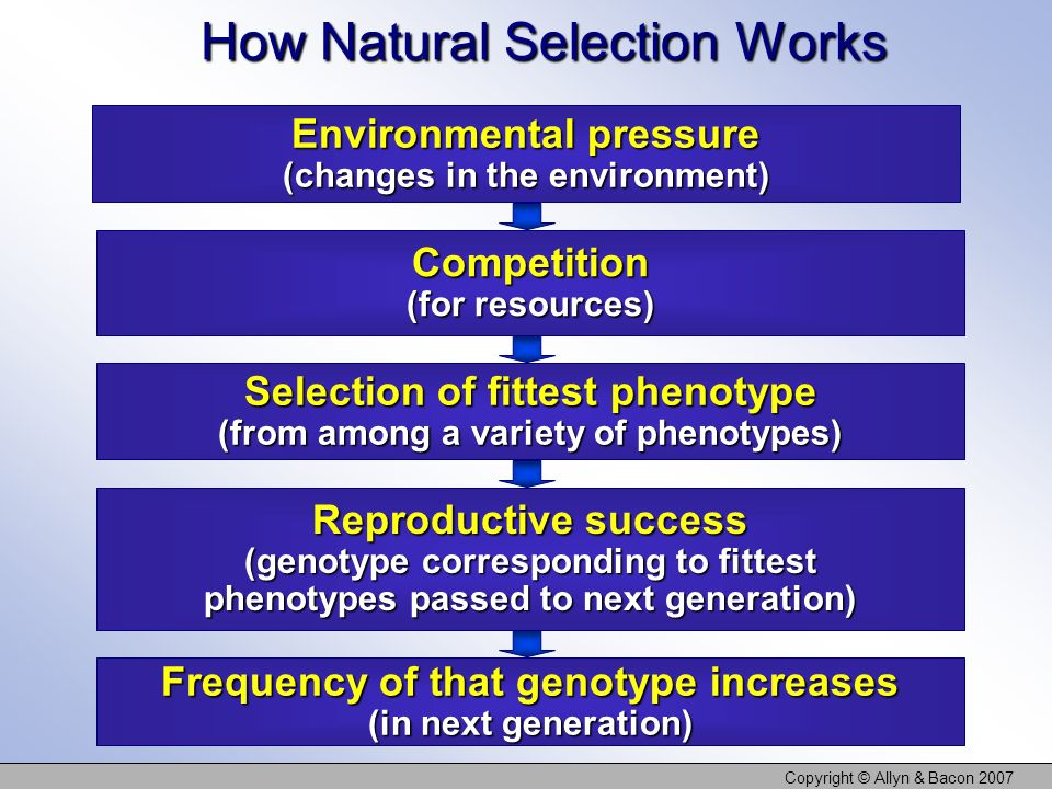 Copyright © Allyn & Bacon 2007 How Natural Selection Works Environmental pressure (changes in the environment) Competition (for resources) Selection o