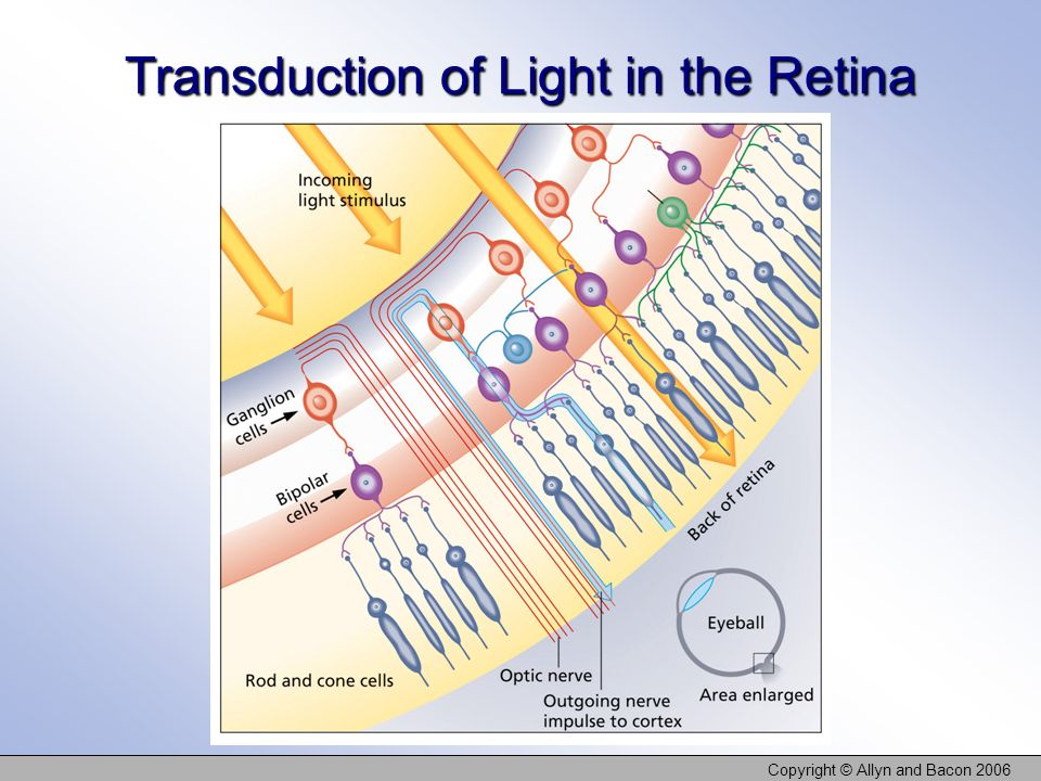 Copyright © Allyn and Bacon 2006 Transduction of Light in the Retina