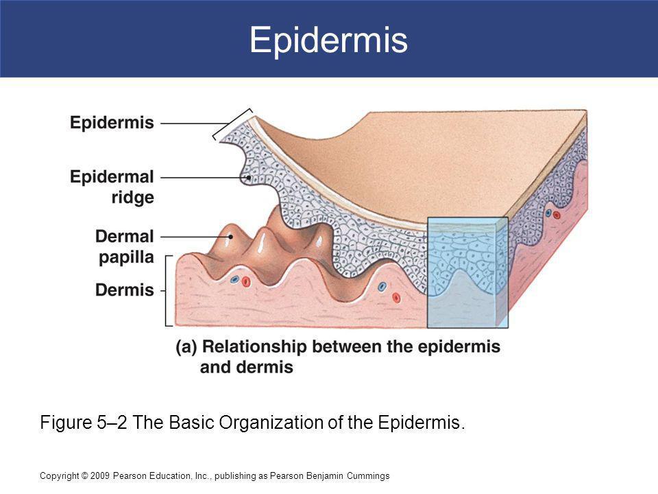 Copyright © 2009 Pearson Education, Inc., publishing as Pearson Benjamin Cummings Epidermis Figure 5–2 The Basic Organization of the Epidermis.