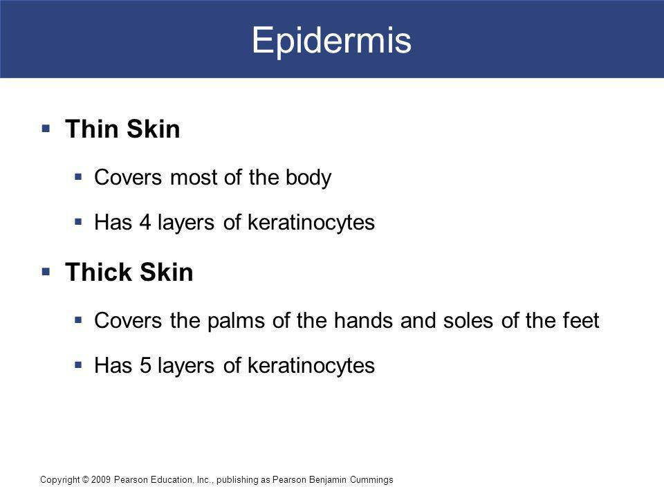 Copyright © 2009 Pearson Education, Inc., publishing as Pearson Benjamin Cummings Epidermis Thin Skin Covers most of the body Has 4 layers of keratinocytes Thick Skin Covers the palms of the hands and soles of the feet Has 5 layers of keratinocytes