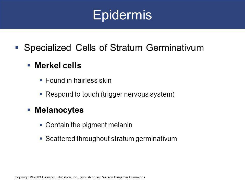 Copyright © 2009 Pearson Education, Inc., publishing as Pearson Benjamin Cummings Epidermis Specialized Cells of Stratum Germinativum Merkel cells Found in hairless skin Respond to touch (trigger nervous system) Melanocytes Contain the pigment melanin Scattered throughout stratum germinativum