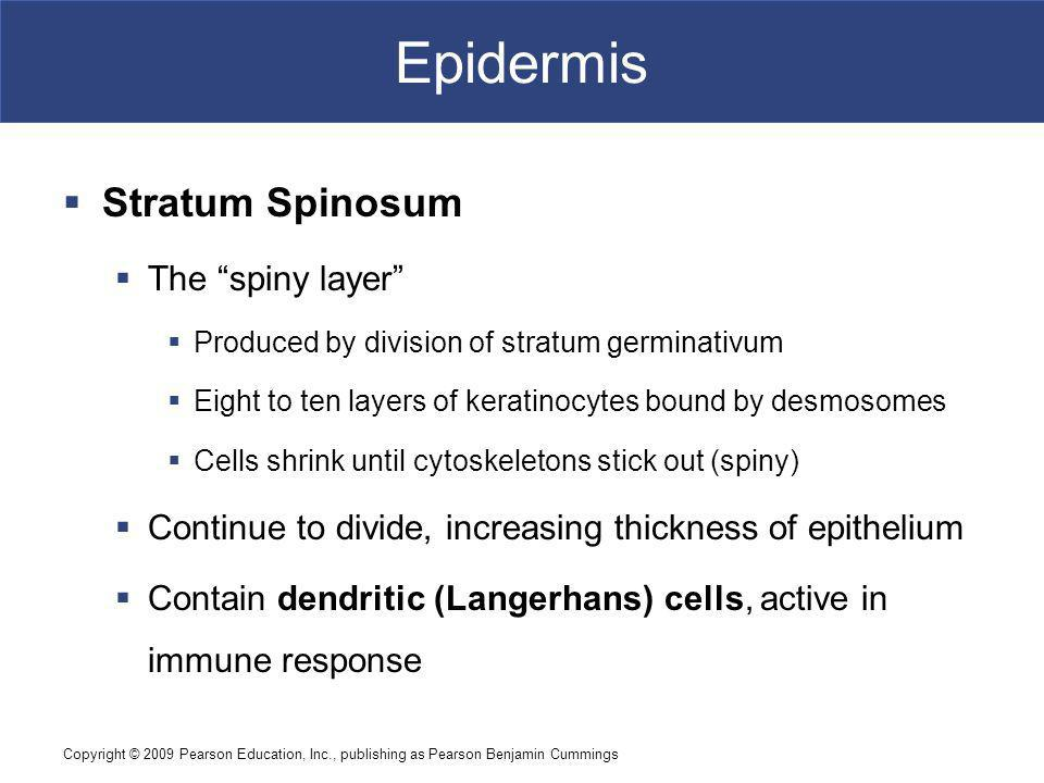 Copyright © 2009 Pearson Education, Inc., publishing as Pearson Benjamin Cummings Epidermis Stratum Spinosum The spiny layer Produced by division of stratum germinativum Eight to ten layers of keratinocytes bound by desmosomes Cells shrink until cytoskeletons stick out (spiny) Continue to divide, increasing thickness of epithelium Contain dendritic (Langerhans) cells, active in immune response