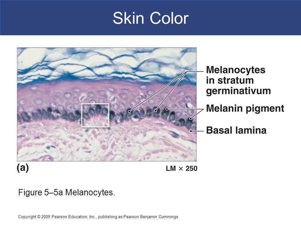 Copyright © 2009 Pearson Education, Inc., publishing as Pearson Benjamin Cummings Skin Color Figure 5–5a Melanocytes.