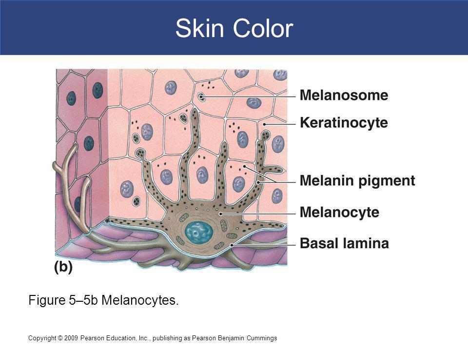 Copyright © 2009 Pearson Education, Inc., publishing as Pearson Benjamin Cummings Skin Color Figure 5–5b Melanocytes.