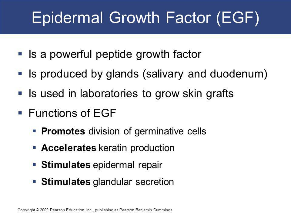 Copyright © 2009 Pearson Education, Inc., publishing as Pearson Benjamin Cummings Epidermal Growth Factor (EGF) Is a powerful peptide growth factor Is produced by glands (salivary and duodenum) Is used in laboratories to grow skin grafts Functions of EGF Promotes division of germinative cells Accelerates keratin production Stimulates epidermal repair Stimulates glandular secretion