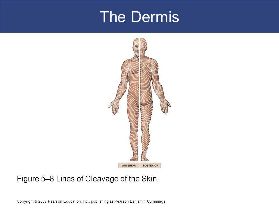 Copyright © 2009 Pearson Education, Inc., publishing as Pearson Benjamin Cummings The Dermis Figure 5–8 Lines of Cleavage of the Skin.