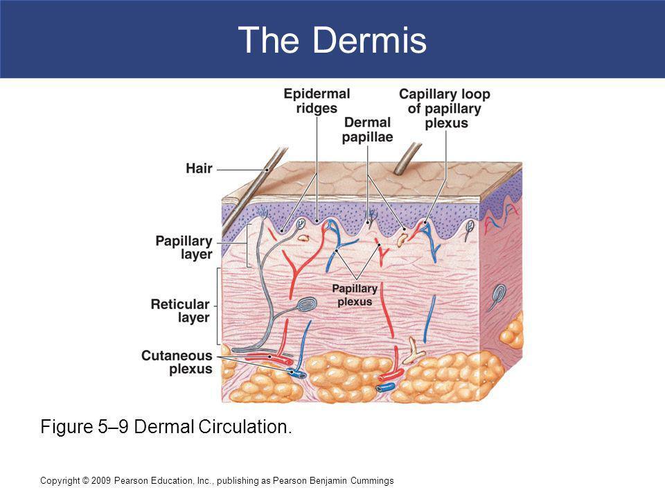 Copyright © 2009 Pearson Education, Inc., publishing as Pearson Benjamin Cummings The Dermis Figure 5–9 Dermal Circulation.