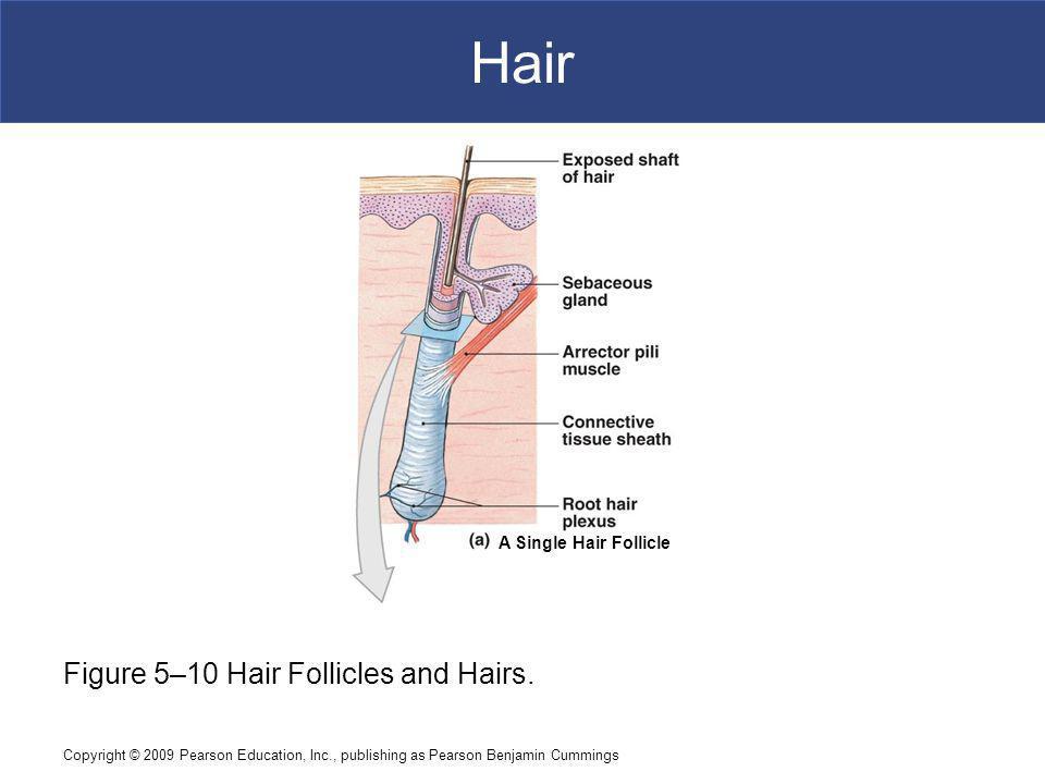 Copyright © 2009 Pearson Education, Inc., publishing as Pearson Benjamin Cummings Hair Figure 5–10 Hair Follicles and Hairs.