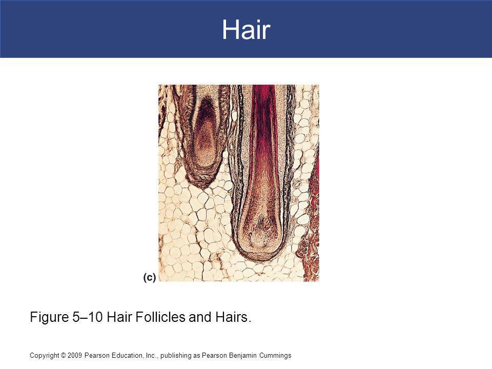 Copyright © 2009 Pearson Education, Inc., publishing as Pearson Benjamin Cummings Hair [INSERT FIG.