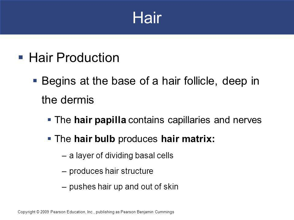 Copyright © 2009 Pearson Education, Inc., publishing as Pearson Benjamin Cummings Hair Hair Production Begins at the base of a hair follicle, deep in the dermis The hair papilla contains capillaries and nerves The hair bulb produces hair matrix: –a layer of dividing basal cells –produces hair structure –pushes hair up and out of skin