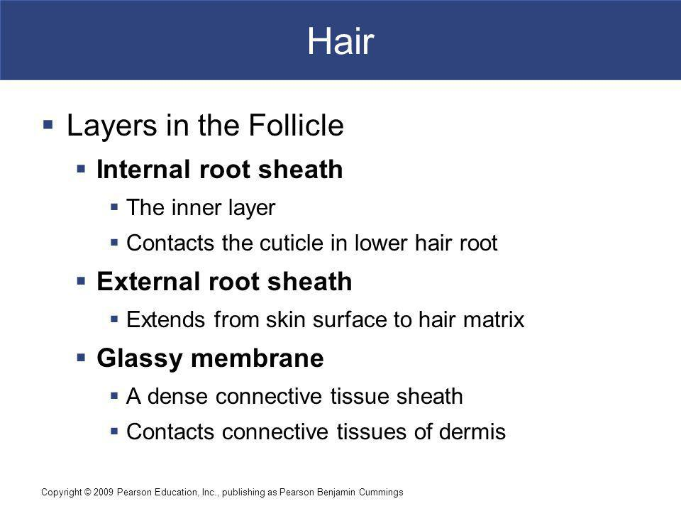 Copyright © 2009 Pearson Education, Inc., publishing as Pearson Benjamin Cummings Hair Layers in the Follicle Internal root sheath The inner layer Contacts the cuticle in lower hair root External root sheath Extends from skin surface to hair matrix Glassy membrane A dense connective tissue sheath Contacts connective tissues of dermis