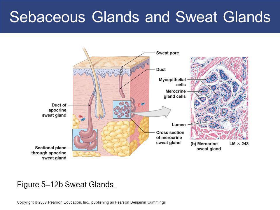 Copyright © 2009 Pearson Education, Inc., publishing as Pearson Benjamin Cummings Sebaceous Glands and Sweat Glands Figure 5–12b Sweat Glands.