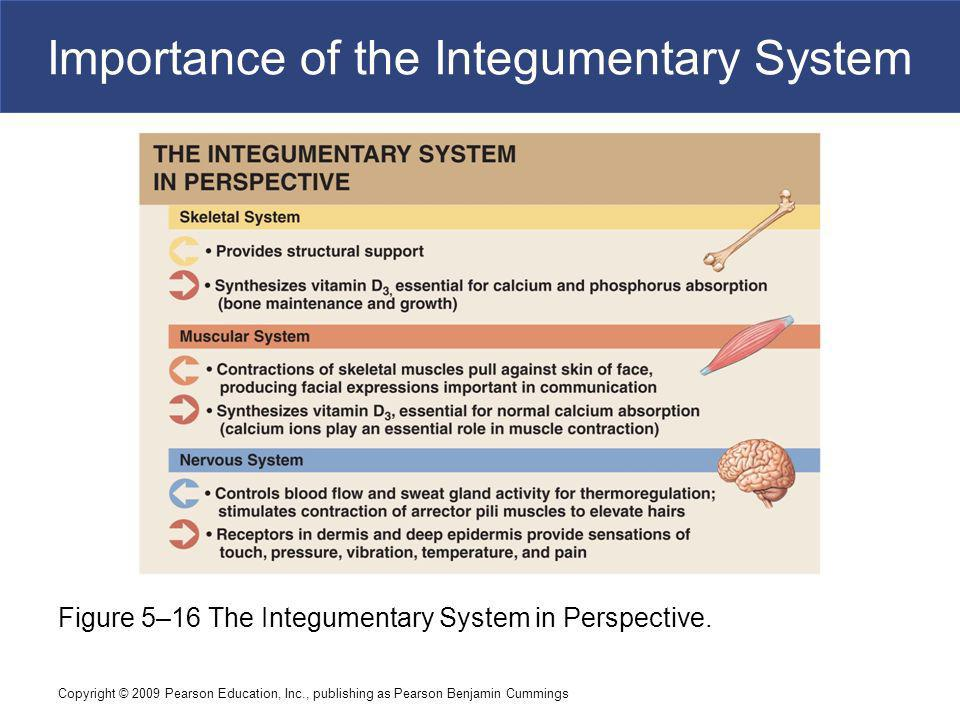 Copyright © 2009 Pearson Education, Inc., publishing as Pearson Benjamin Cummings Importance of the Integumentary System Figure 5–16 The Integumentary System in Perspective.