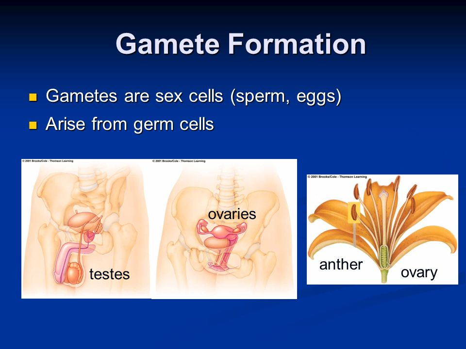 Gamete Formation Gamete Formation Gametes are sex cells (sperm, eggs) Gametes are sex cells (sperm, eggs) Arise from germ cells Arise from germ cells testes ovaries anther ovary
