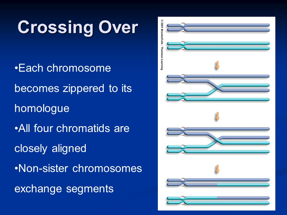 Crossing Over Each chromosome becomes zippered to its homologue All four chromatids are closely aligned Non-sister chromosomes exchange segments