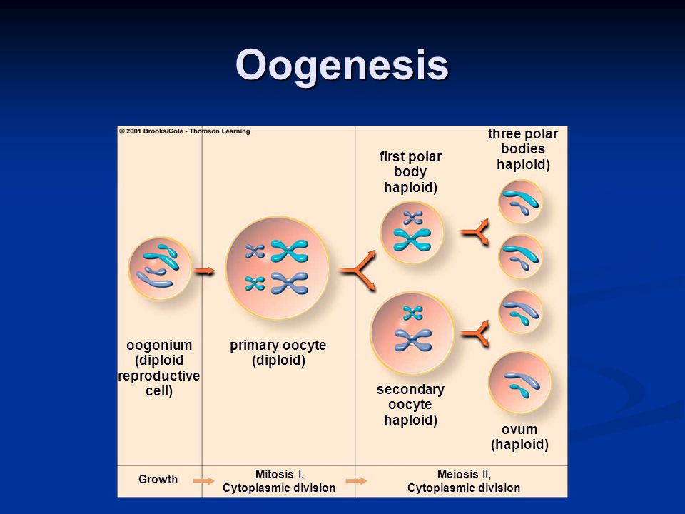 Oogenesis Growth Mitosis I, Cytoplasmic division Meiosis II, Cytoplasmic division ovum (haploid) primary oocyte (diploid) oogonium (diploid reproductive cell) secondary oocyte haploid) first polar body haploid) three polar bodies haploid)