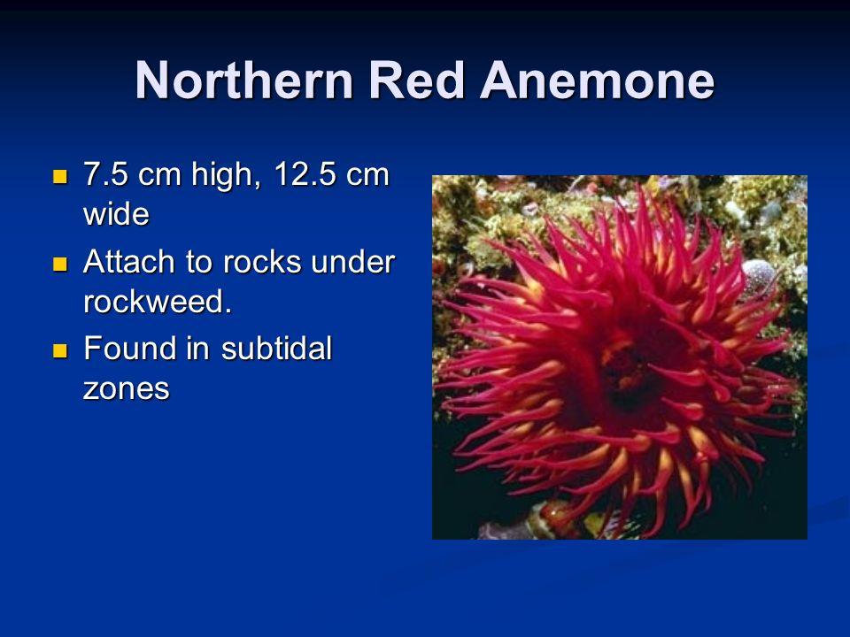 Northern Red Anemone 7.5 cm high, 12.5 cm wide 7.5 cm high, 12.5 cm wide Attach to rocks under rockweed. Attach to rocks under rockweed. Found in subt