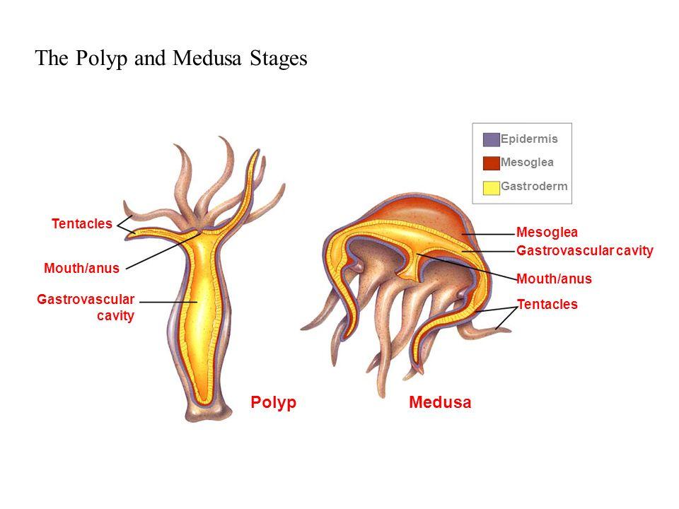 Epidermis Mesoglea Gastroderm Mesoglea Gastrovascular cavity Mouth/anus Tentacles Mouth/anus Gastrovascular cavity PolypMedusa The Polyp and Medusa St