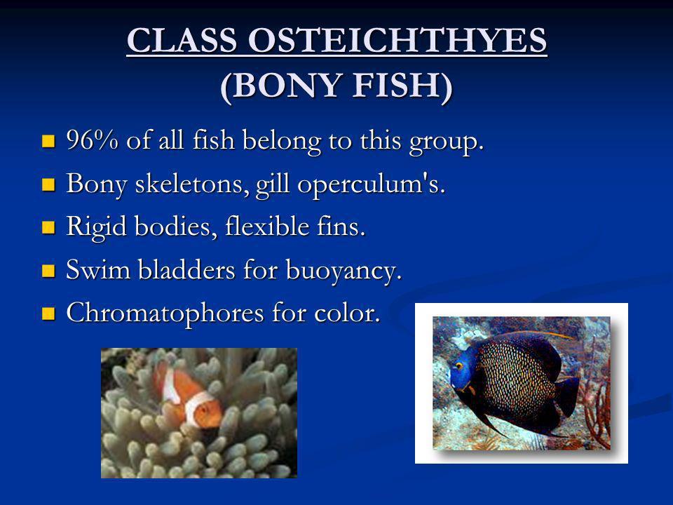 CLASS OSTEICHTHYES (BONY FISH) 96% of all fish belong to this group. 96% of all fish belong to this group. Bony skeletons, gill operculum's. Bony skel