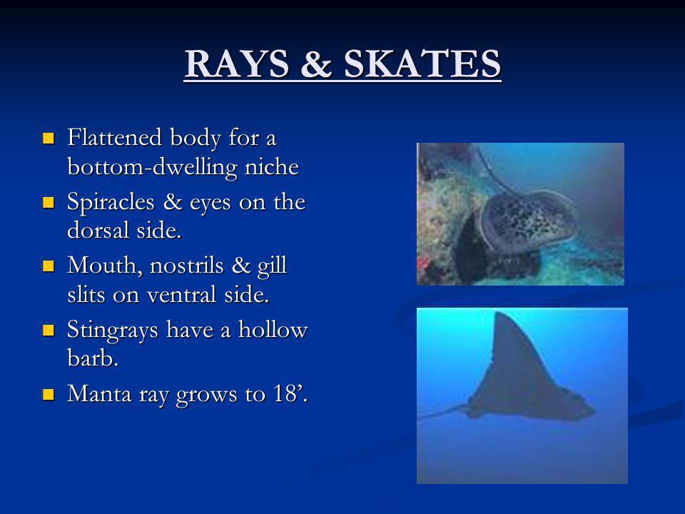 RAYS & SKATES Flattened body for a bottom-dwelling niche Flattened body for a bottom-dwelling niche Spiracles & eyes on the dorsal side. Spiracles & e