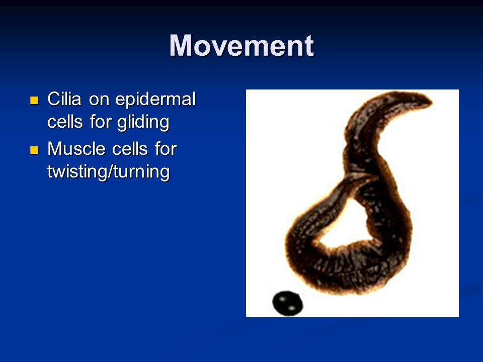 Movement Cilia on epidermal cells for gliding Cilia on epidermal cells for gliding Muscle cells for twisting/turning Muscle cells for twisting/turning